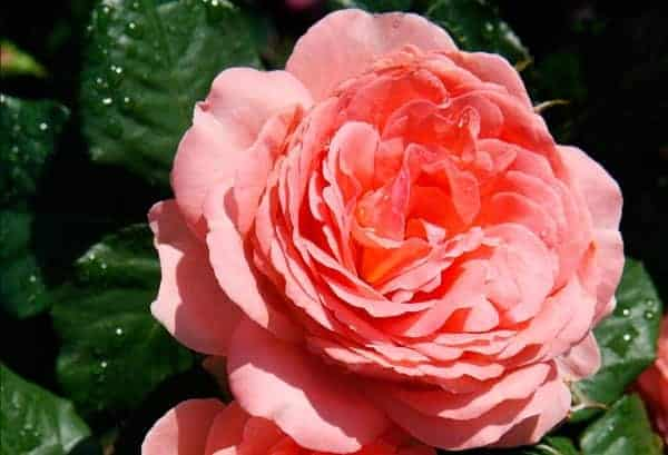 Photo of Garden centre group brings back popular competition to ?Name the Rose? and see it sold across centres