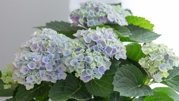 Photo of Magical Hydrangeas launched into the UK with The Little Botanical