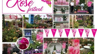 Photo of Klondyke rose festival leads to 130% sales growth