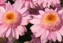 Photo of Late-flowering chrysanthemums on trial