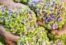 Photo of The Magical Hydrangea set to light up UK gardens this summer