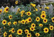 Photo of Sunflower SunBelievable ?Brown Eyed Girl? from Thompson & Morgan bags awards