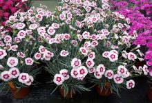 Photo of New Dianthus plants from Lovania Nurseries