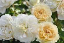 Photo of Dobbies launches its own range of roses